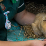 Post Operative Care – Rabbits and Small Pets