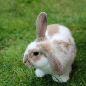 Apex Vets' checklist for spotting fleas on rabbits