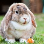 Protect your rabbit against RVHD with Apex Vets