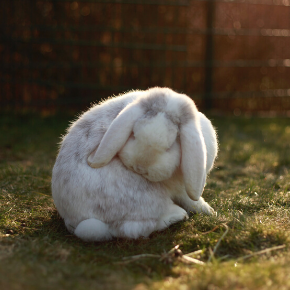 Rabbits need help with grooming – especially in moulting season