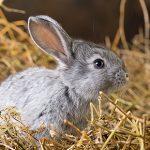 Flystrike in Rabbits