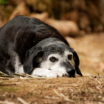 Take Apex Vets' canine health assessment quiz for older dogs