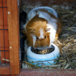 Chloe Green has eight top tips for winter guinea pig care