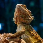 Summer heat basking tips for bearded dragons from Apex Veterinary Centre