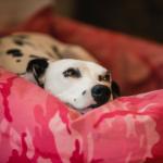 FAQs on dog pregnancy